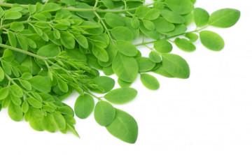 Safe Use Of Moringa Oleifera With Medication